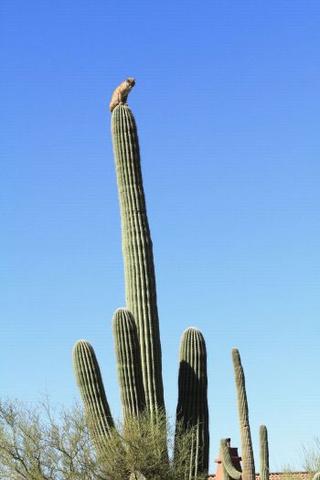 Рысь верхом на кактусе